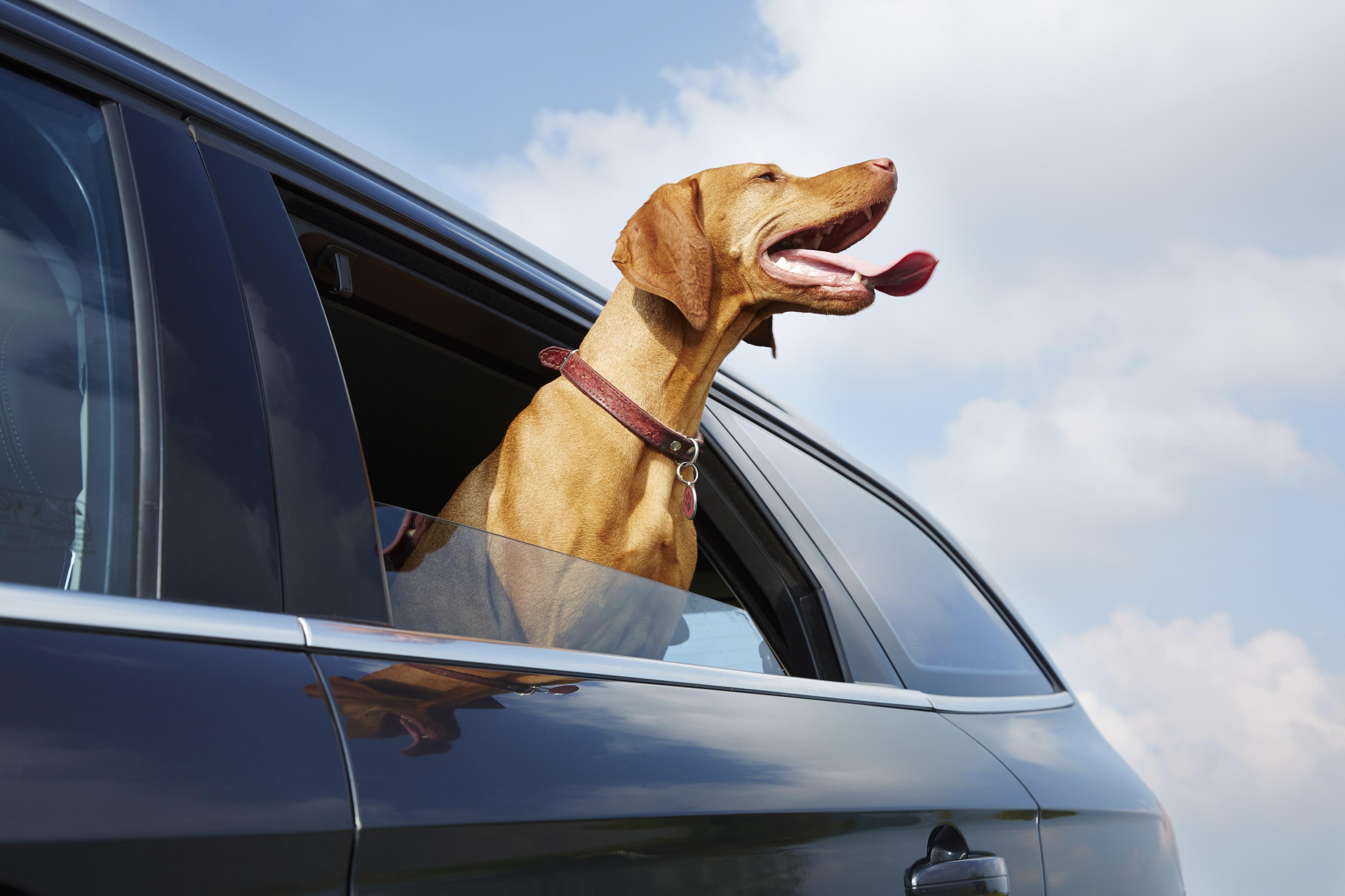 Pes v aute, čiže ako cestovať bezpečne so zvieraťom