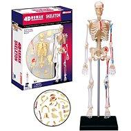 Anatomie člověka - kostra