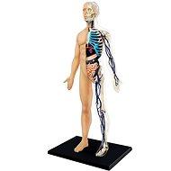 Anatomie člověka - tělo - Anatomický model