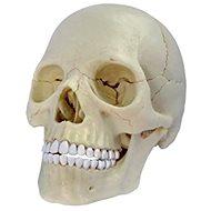 Anatómia človeka – lebka - Anatomický model